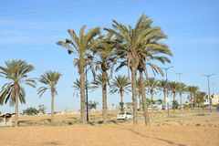 Israel -  palms in Ara`ra BaNegev Stock Photos