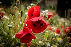 Poppies after rain stock photography