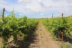 Israel vineyard -Barkan Stock Images
