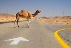 Israeli camel. Royalty Free Stock Images