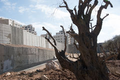 Israeli Separation Wall divides Palestinian land. A damaged olive tree stands near the Israeli Separation Wall dividing land belonging to the West Bank village Royalty Free Stock Image