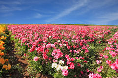 Israeli spring Royalty Free Stock Photo
