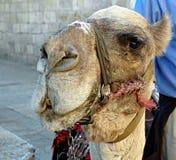 israelian kamel royaltyfria foton