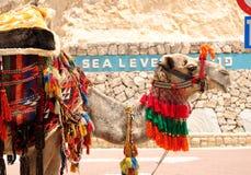 Israelisk kamel Arkivbilder