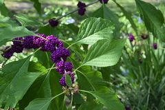 Issai Purple Japanese Beauty berry Stock Photo