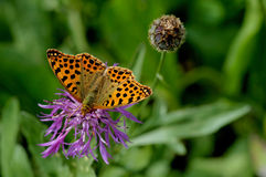 Issoria lathonia. Queen of Spain fritillary on a centaurea in french Alps Royalty Free Stock Photo