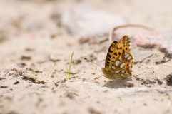 Issoria lathonia. Beautiful colorful butterfly Royalty Free Stock Images