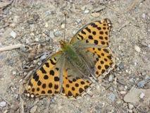 Issoria lathonia Royaltyfri Fotografi