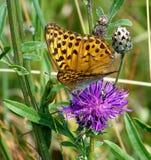 Issoria lathonia fall prey to the praying locust Royalty Free Stock Photos