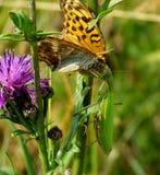 Issoria lathonia fall prey to the praying locust Royalty Free Stock Photo