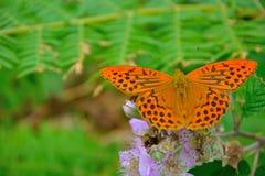 Issoria lathonia Piękny pomarańczowy motyl - królowa Hiszpania Fritillary - Zdjęcie Stock
