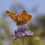 Issoria lathonia, Queen of Spain fritillary. On scabious bloom in Southern France, Europe Royalty Free Stock Image