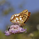 Issoria lathonia, Queen of Spain fritillary. In Southern France, Europe Royalty Free Stock Photography