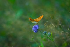 Issoria Lathonia - Queen of Spain Fritillary in Beigua National Geo Park. Liguria, Italy Stock Photography