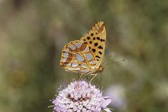 Issoria lathonia, Queen of Spain fritillary. Butterfly from Southern France, Europe Royalty Free Stock Photography