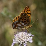 Issoria lathonia, Queen of Spain fritillary. From France, european butterfly Royalty Free Stock Images