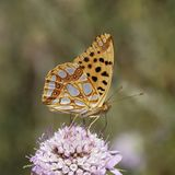 Issoria lathonia, Queen of Spain fritillary. From Southern France, Europe Stock Photo