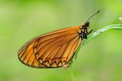 Issoria/mariposa de Acraea en la ramita Imágenes de archivo libres de regalías