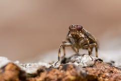 Issus coleoptratus (Homoptera)头 库存照片