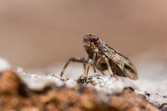 Issus coleoptratus (Homoptera) in profile Royalty Free Stock Image