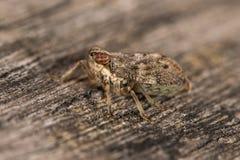 Issus coleoptratus planthopper臭虫 库存照片
