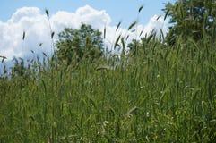 Ist ein grünes Feld voll der Weizenanlagen lizenzfreies stockfoto