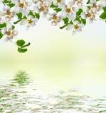 Ist ein grünes Feld voll der Weizenanlagen Blühende Birne Stockfoto