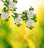 Ist ein grünes Feld voll der Weizenanlagen Blühende Birne Stockfotos