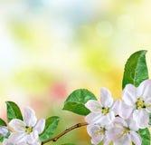 Ist ein grünes Feld voll der Weizenanlagen Blühender Apfelbaum Garten Lizenzfreies Stockbild
