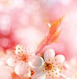 Ist ein grünes Feld voll der Weizenanlagen Blühender Zweig der Kirsche Stockbild