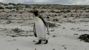 Ist jovenes solos de rey Penguin que caminan en la playa almacen de video