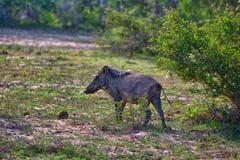 Ist salvajes de un cerdo que se colocan en la hierba verde en el Yala Nationalpark Imagen de archivo libre de regalías