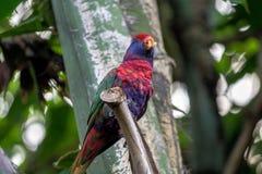 Ist Scharlachrot Keilschwanzsittichpapageien-Vogel, Aronstäbe Macao ein amerikanischer Papagei stockbild