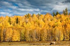Ist Vieh im Rangeland Lizenzfreies Stockfoto