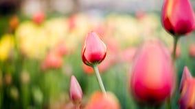 Istanbuł Turcja, Kwiecień, - 23, 2016: Czerwonych tulipanów piękny bukiet tulipany tulipany w wiośnie colourful Obraz Stock