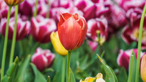Istanbuł Turcja, Kwiecień, - 18, 2016: Czerwonych tulipanów piękny bukiet tulipany tulipany w wiośnie colourful Obrazy Stock