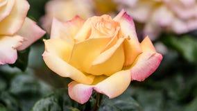 Istanbuł Turcja, Kwiecień, - 23, 2016: Piękna pojedyncza kolor żółty róża w ogródzie Obrazy Royalty Free