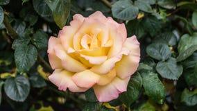 Istanbuł Turcja, Kwiecień, - 23, 2016: Piękna pojedyncza kolor żółty róża w ogródzie Obraz Royalty Free
