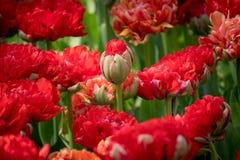 Istanbuł Turcja, Kwiecień, - 23, 2016: Piękny bukiet cloves z pączkiem wokoło kwitnąć w ostrości Obraz Royalty Free