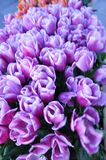 Istanbul, April and May fill the light purple Tulip. Stock Images