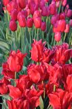 Istanbul, April and May fill the red Tulips. When spring comes, Istanbul will fill every side with Red Tulip. In the squares, in the parks, there is a colorful royalty free stock photos