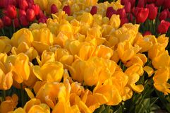Istanbul, April and May fill the yellow and red Tulips Royalty Free Stock Photo