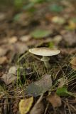 Istanbul, Belgrad forest , Close-Up Of Mushroom Growing Outdoors. Gray-brown mushroom toadstool growing in the forest Stock Photo