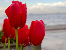 Istanbul coast and rain drops after tulips Stock Photo