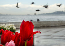 Istanbul coast and rain drops after tulips Royalty Free Stock Images