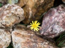 Istanbul, die Türkei - 18. April 2016: Gelbe Blume aus den Felsengrund, selektiver Fokus Lizenzfreies Stockfoto