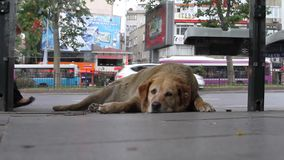 İstanbul Dogs 2 stock footage