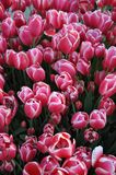 Istanbul is equipped with colorful lilies in the spring. Pink Tulip Stock Images