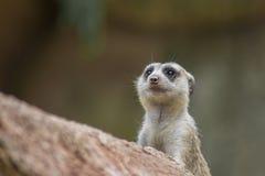 Patrolling Meerkat Royalty Free Stock Images