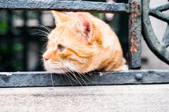 Istanbul red cat, selective focus. Closeup portrait of the cat. Outdoor photography. Istanbul red cat, selective focus. Closeup portrait of the cat Royalty Free Stock Photos